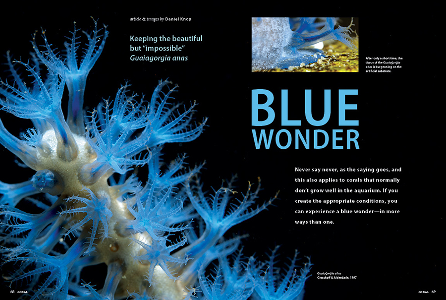 """BLUE WONDER! Keeping the beautiful but """"impossible"""" Guaiagorgia anas, a firsthand account spanning years of success, by Daniel Knop."""