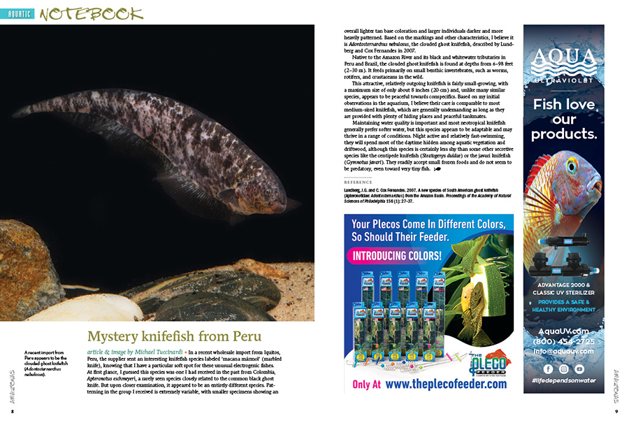 Aquatic Notebook brings you short articles on noteworthy happenings of interest to aquarists. Next, AMAZONAS Sr. Editor Mike Tuccinardi discusses a mysterious recent import from Peru that appears to be the clouded ghost knifefish (Adontosternarchus nebulosus).