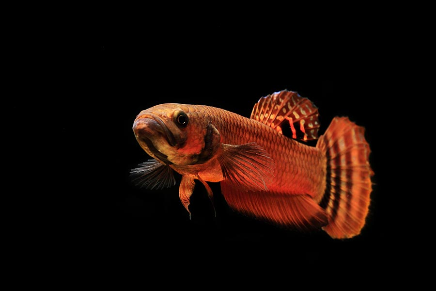 """Betta macrostoma is one of the most prized mouthbrooding betta species. Its care, perhaps best described as """"demanding"""" and """"advanced"""", presents a challenge for fish breeders to overcome. Image credit: Sumer Tiwari"""