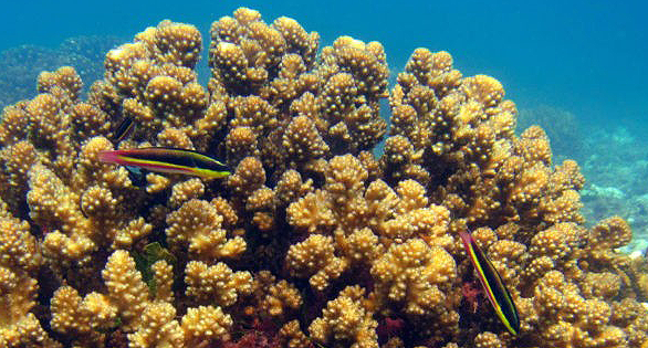 El Niño Made Me Stronger: Eastern Pacific Corals Showing Surprising Heat Tolerance