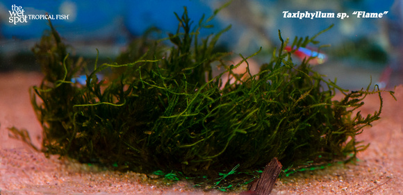 Taxiphyllum sp. 'Flame', also known simply as Flame Moss.