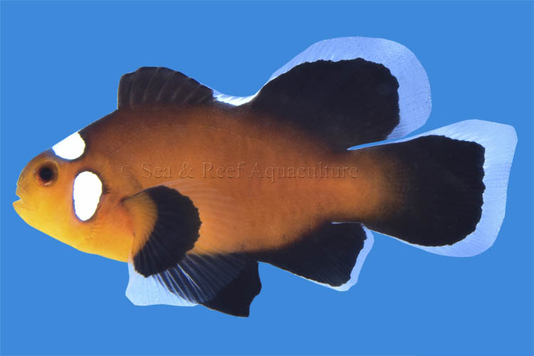 The first new longfin clownfish variant for 2020 is the Longfin Domino Black Ocellaris.