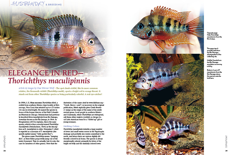 Uwe Werner Wolf makes a proper introduction to Thorichthys maculipinnis, the spot cheek cichlid. It stands out from other Thorichthys species as being particularly colorful. A real eye-catcher!