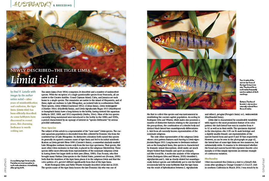 After years of misidentification and confusion, the tiger limia (Limia islai) has been officially described. As Paul V. Loiselle has discovered, this charming livebearer is worth seeking out.