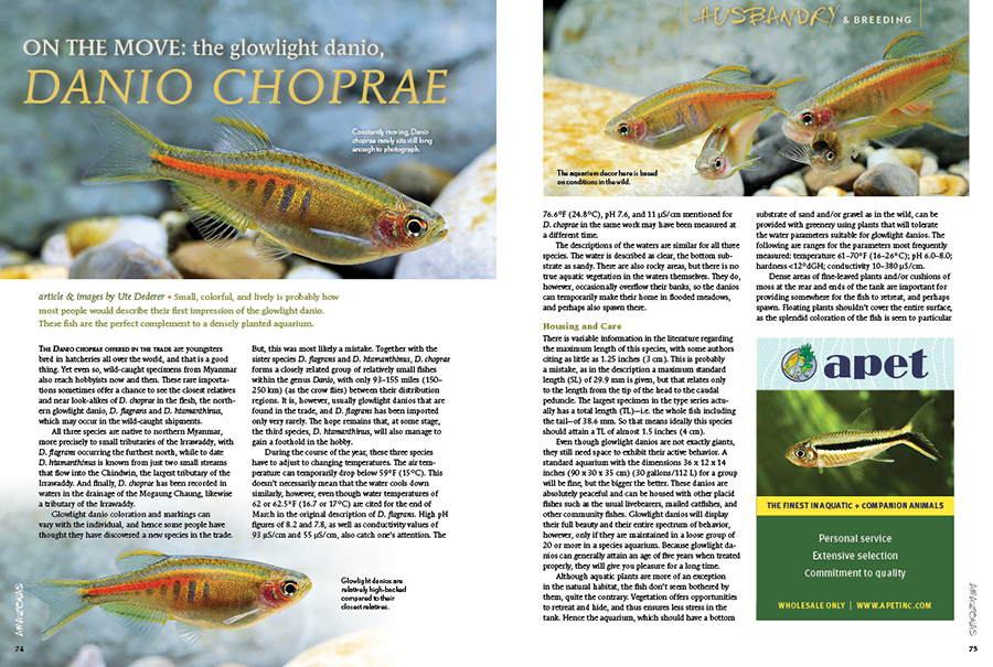 Small, colorful, and lively is probably how most people would describe their first impression of the glowlight danio, Danio choprae. Author Ute Dederer notes that these fish are the perfect complement to a densely planted aquarium.