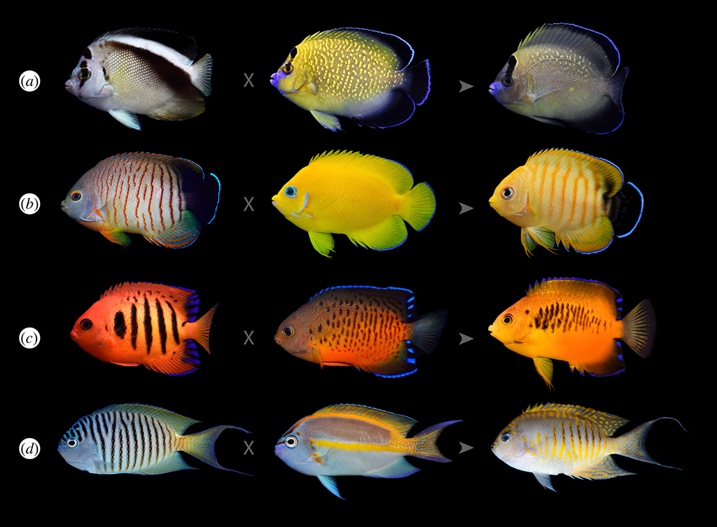Putative hybrids are identified on the basis of intermediate coloration between contributing parents. This approach has been adopted by several authors in the context of the Pomacanthidae and has been demonstrated to be a sound approach in several other coral reef taxa. (a) Apolemichthys griffisi × A. xanthopunctatus; (b) Centropyge eibli × C. flavissima; (c) Centropyge loricula × C. ferrugata; (d) Genicanthus melanospilos × G. bellus. All photos by Y.-K.T.