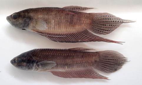 A comparison of a 58.6 mm SL male B. chini (top) to that of a 62.6 mm SL male B. nuluhon. Image from Kamal, Tan, and Ng 2020.