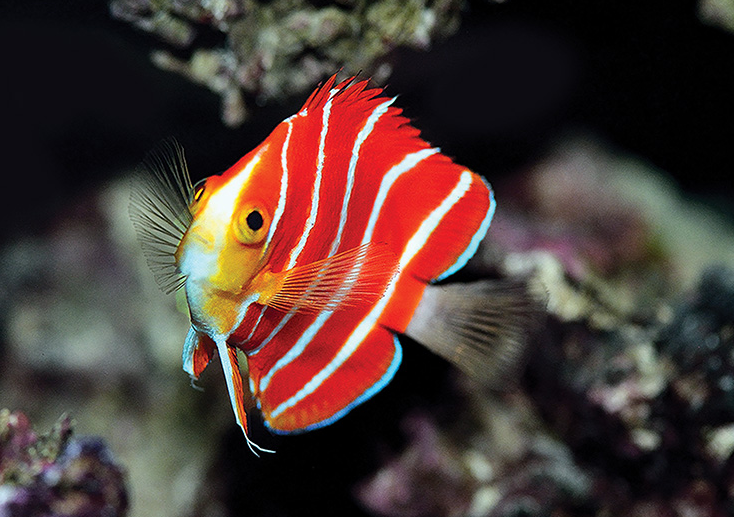 Paracentropyge boylei, the Peppermint Angelfish. The marine angelfishes are among the most charismatic groups of coral reef fishes, with up to 48% of the known species capable of hybridizing. This puts the family among the groups of coral reef fishes with the highest incidences of hybridization, not only between sympatric species, but also between deeply divergent lineages. Photo credit: Yi-Kai Tea.