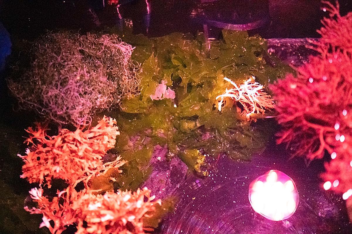 Clockwise from bottom left: Pom Pom Gracilaria (Gracilaria hayi), Chaeto (Chaetomorpha linum) and Sea Lettuce (Ulva lactuca) could be considered AlgaeBarn's macroalgae trifecta, and function well in support of the diversity recommend for aquarists utilizing the TRITON Method of aquarium husbandry. Image courtesy AlgaeBarn.