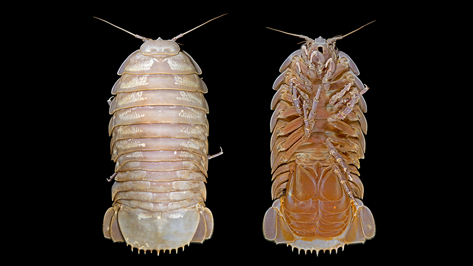 Ventral and dorsal view of the female Bathynomus raksasa. Photo: SJADES