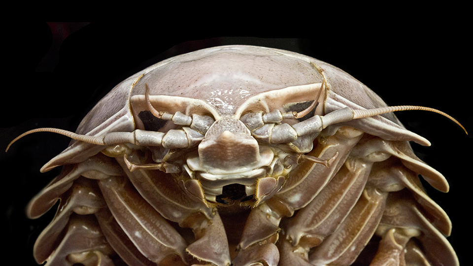"""Face-to-face with Bathynomus raksasa, a new species of """"supergiant"""" isopod. Image: SJADE"""
