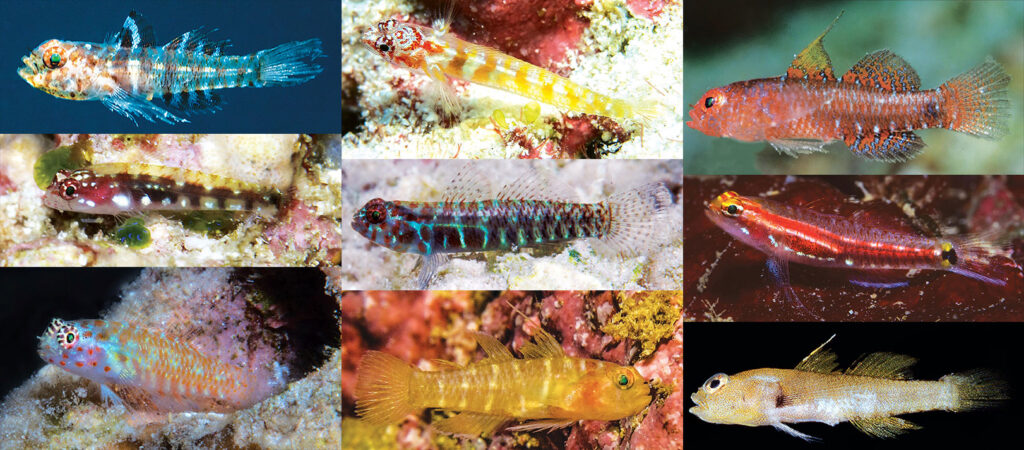 David W. Greenfield and his colleagues have introduced several new species of Eviota dwarfgobies during the last four years.