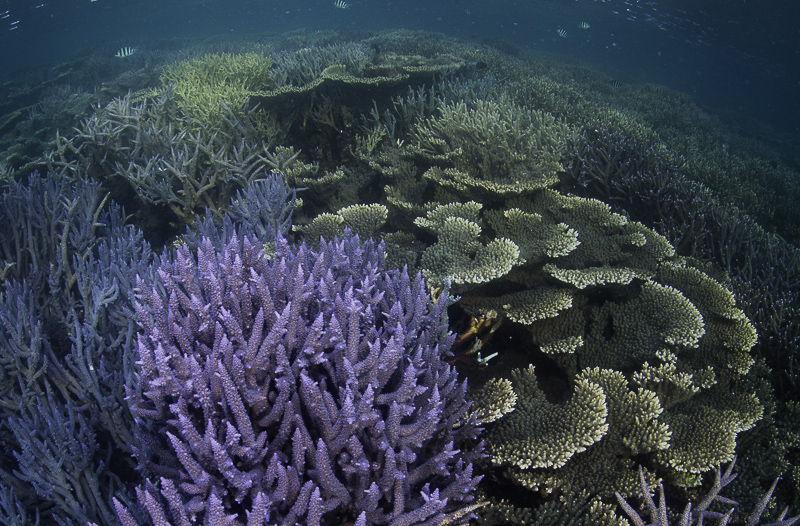 More than meets the eye: corals on the Great Barrier Reef are about to undergo radical revision of species classifications. Image: Tom Bridge.