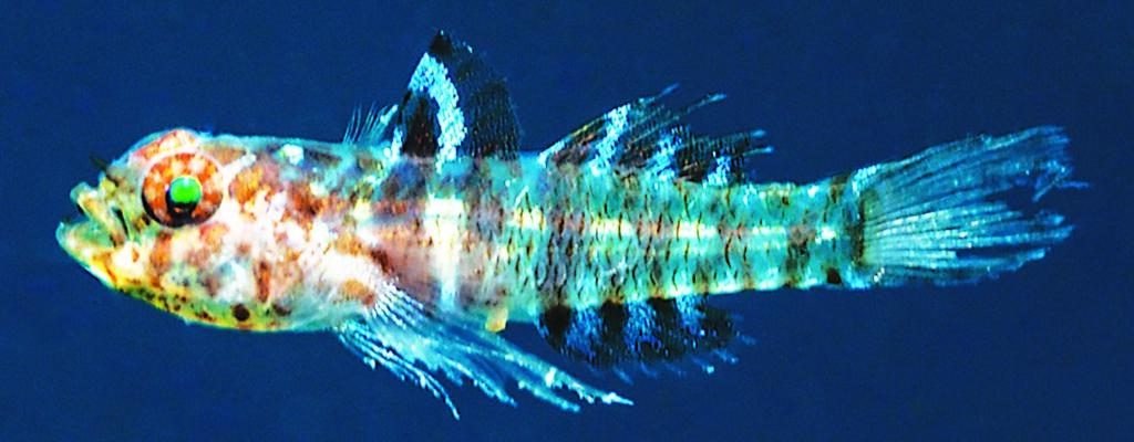Eviota amphipora, fresh holotype, anesthetized and underwater, Milne Bay, Papua New Guinea (Mark V. Erdmann).