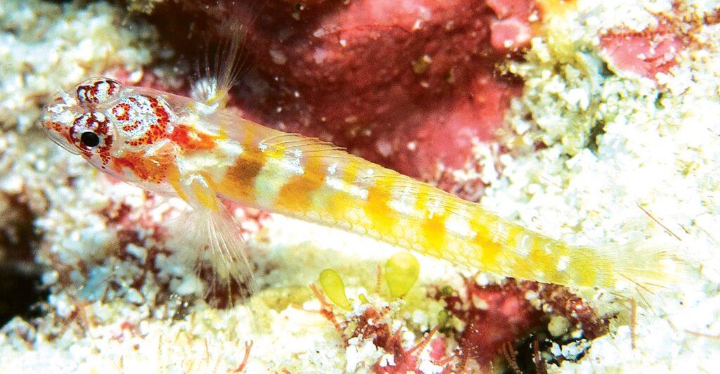 Eviota dalyi, underwater photograph of holotype, Amirante Islands, Seychelles (R. Daly).