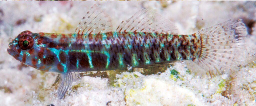 Eviota maculosa, underwater photograph of type series, Teluk Saleh, Sumbawa, Indonesia (M.V. Erdmann).