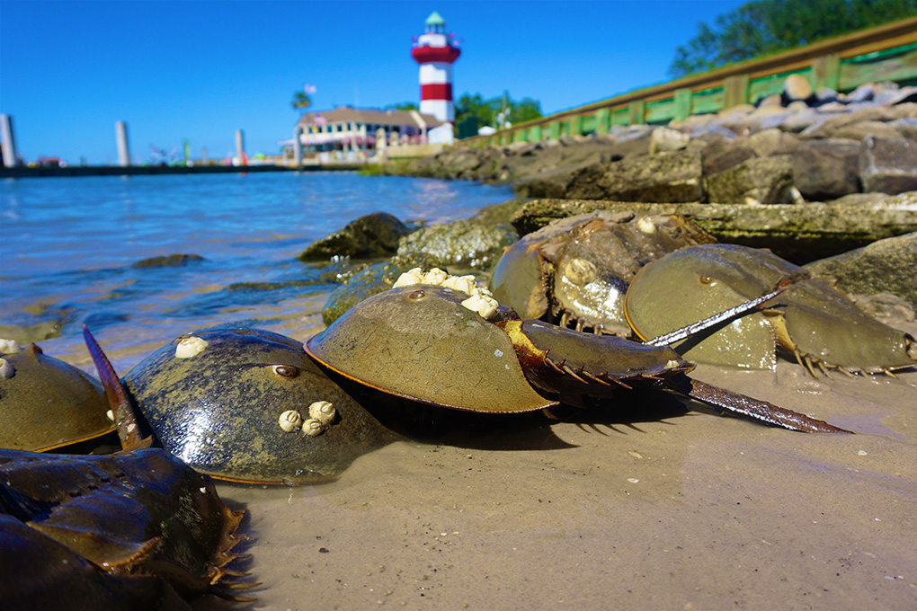 American Horseshoe Crabs for medical research are found along the Eastern Seaboard, with the greatest population density in the mid-Atlantic states. Credit: Captain Gillespie/shutterstock