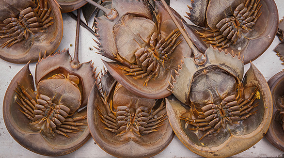 Vaxx vexation: Dark days ahead for the American Horseshoe Crab?