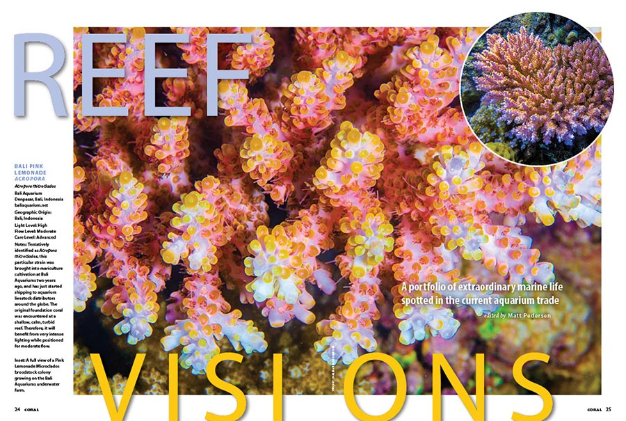 REEF VISIONS: A portfolio of extraordinary reef life spotted in the current aquarium trade. The Bali Pink Lemonade Acropora, a new maricultured release from Indonesia's Bali Aquarium coral farm, captures our attention and hearts in the opening spread.