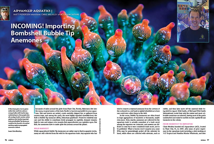 What, exactly, goes into importing and distributing some of the most mind-melting varieties of the Bubble Tip Anemone, Entacmaea quadricolor? CORAL Sr. Editor Matt Pedersen spoke with Chris Meckley of ACI Aquaculture in Plant City, FL to bring you a behind-the-scenes look at how the most riotous anemones ultimately make their way into the aquarium trade.