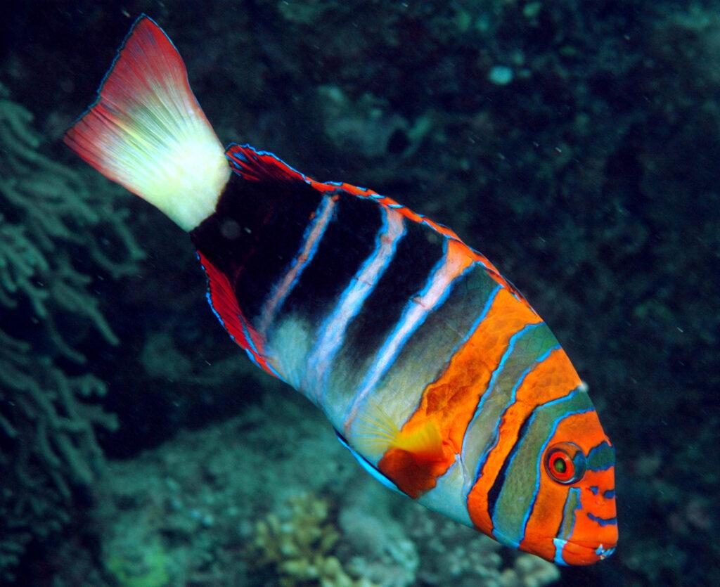 Bali Aquarich Successfully Breeds Harlequin Tuskfish