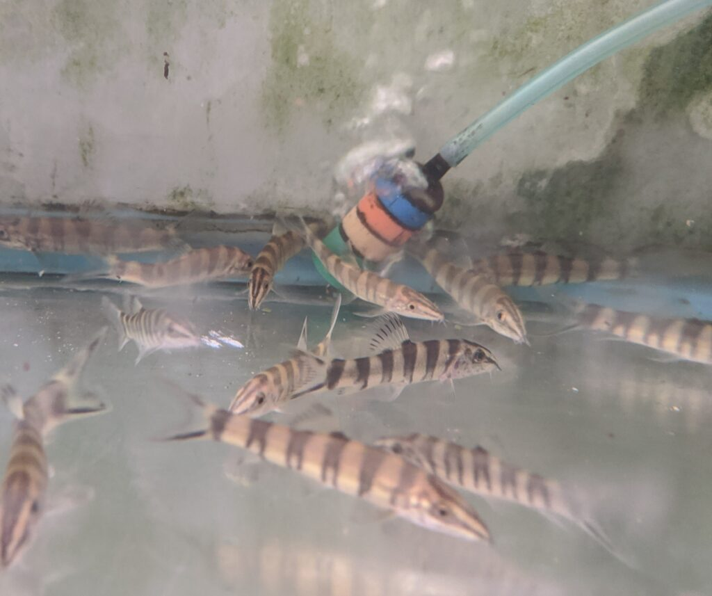 These well adjusted gold zebra loaches appear spry, but a bit washed out in a wholesale holding tank. Once settled in at their final destination, they will really shine!