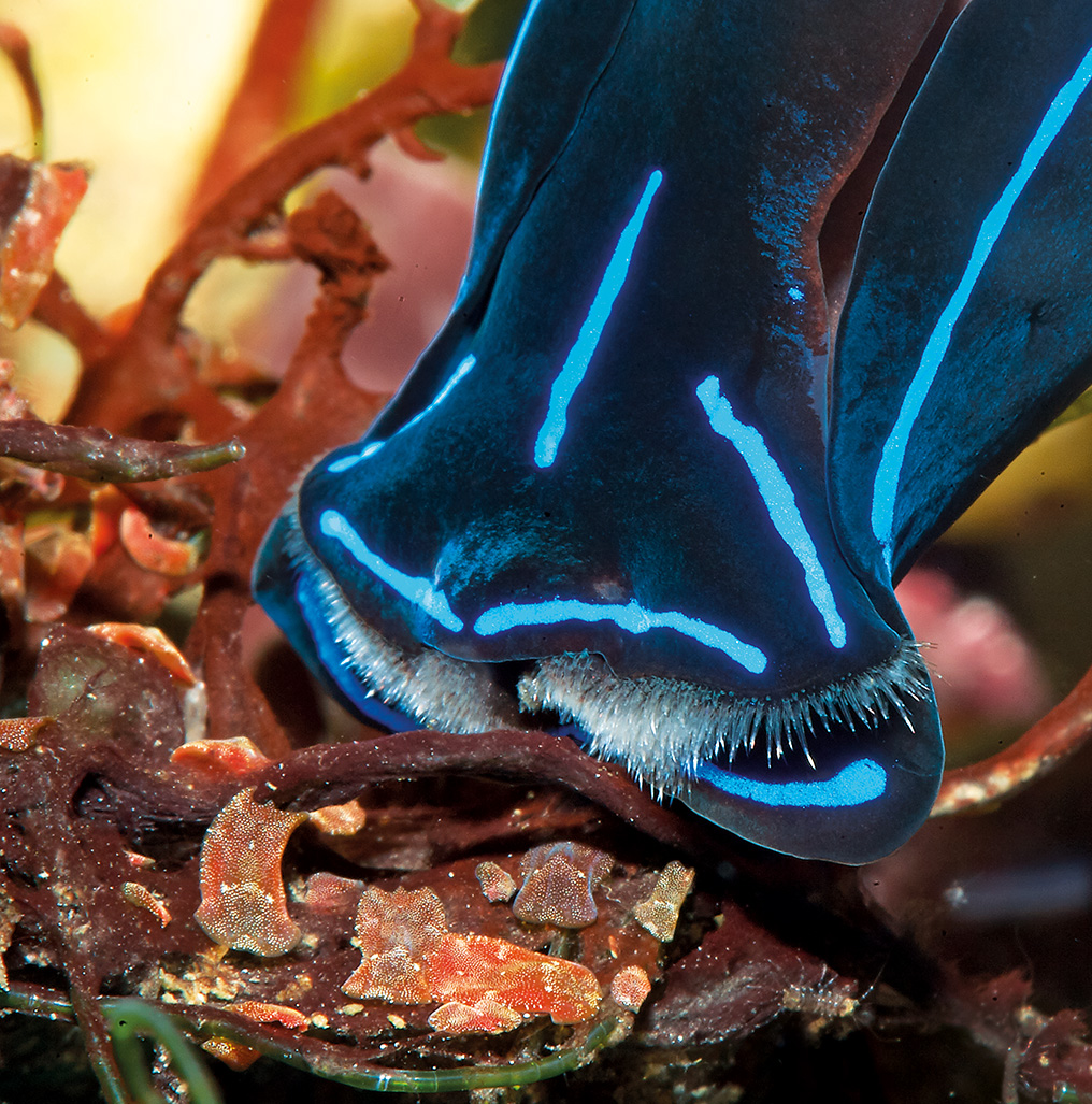 The Blue Velvet Sea Slug (Chelidonura varians) sucks in flatworms like a vacuum cleaner, but this trophic specialist usually can't survive long in the aquarium. There were high hopes it would help win battles against flatworms, but these hardly ever came to fruition.