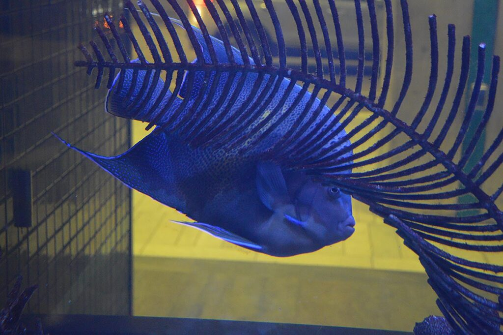 This massive Pomacanthus angelfish excelled at making photography difficult!