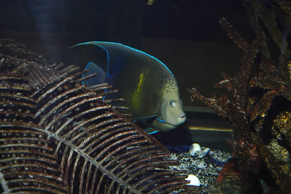 This beautiful Pomacanthus angelfish liked to stay on the far side of the aquarium, forcing me to shoot through a few feet of water in addition to the thick viewing pane, creating focal conflicts.