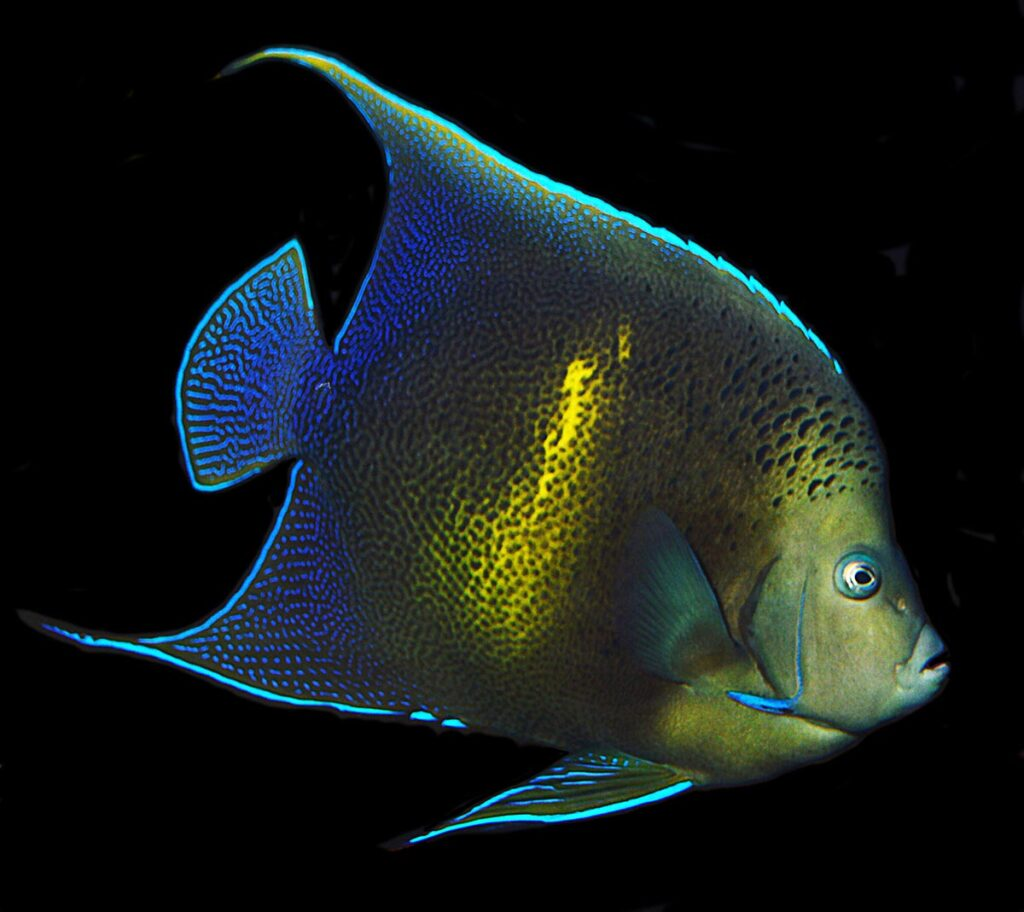 This amazing and unique Pomacanthus angelfish was discovered while walking through the baggage claim at Tampa International Airport in late February 2020. What is it? Read on to find out!
