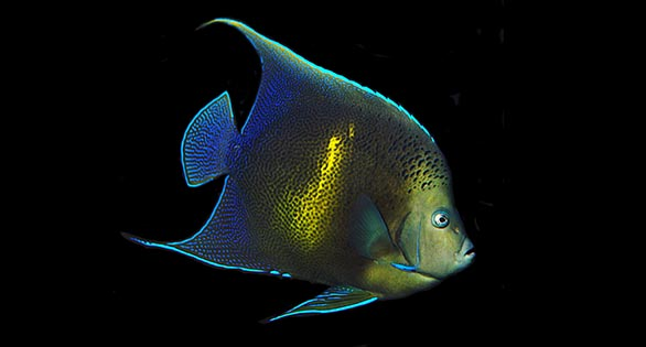 Friday Photospread: Rare Pomacanthus Angelfish at Tampa International Airport