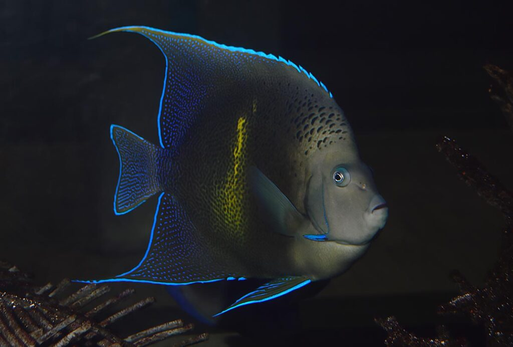 "Pomacanthus (maculosus X semicirculatus), a captive-bred hybrid Pomacanthus angelfish on public display at the baggage claim area of Tampa International Airport. Say ""hello"" the next time you pass through."