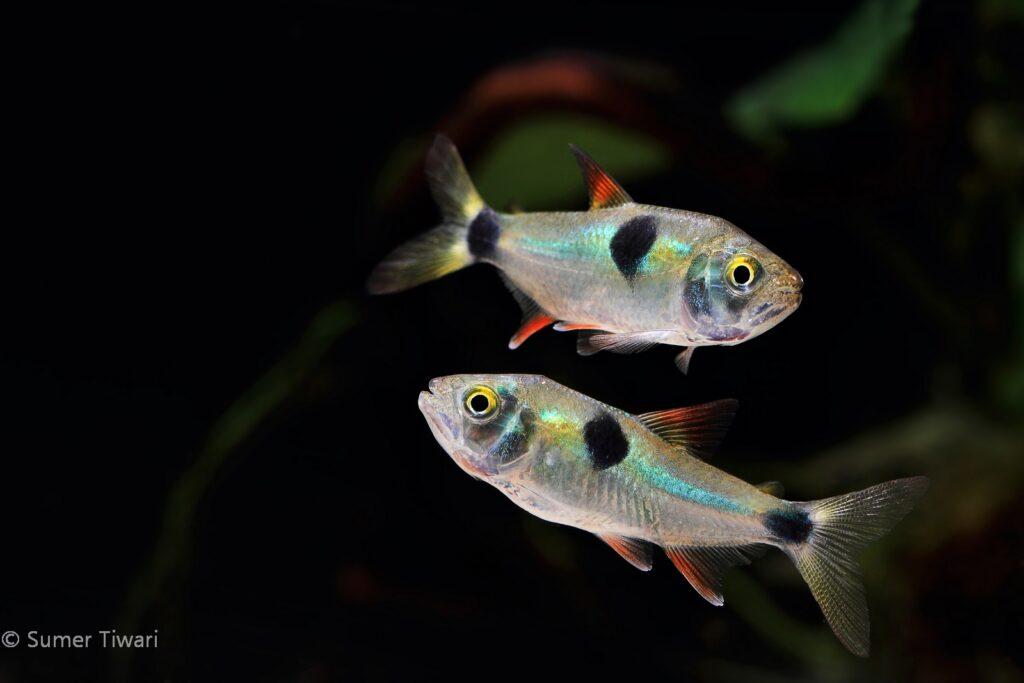 Exodon paradoxus, one of the more aggressive tetras, make a fantastic option for a species only aquarium.