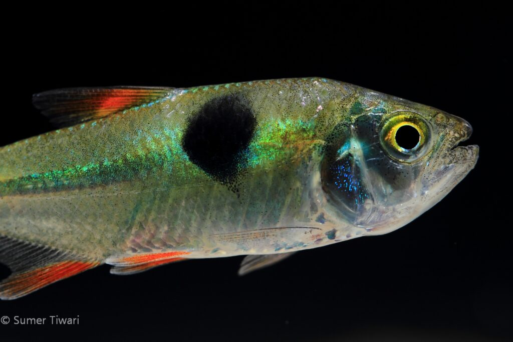 This closeup reveals the amazing iridescence colors this species possesses.