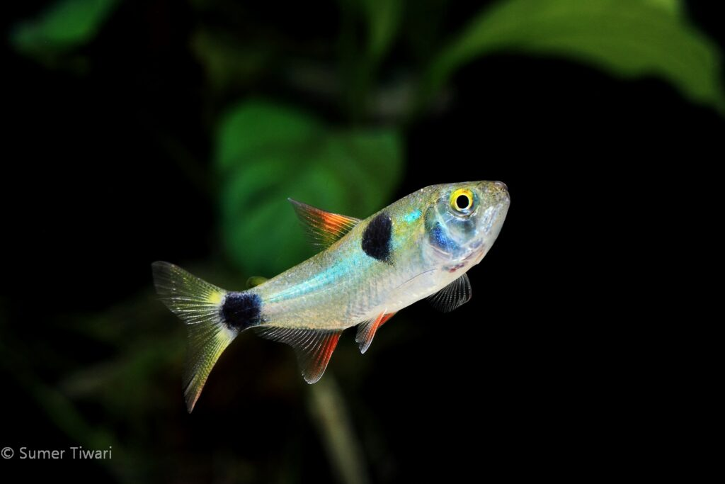 Like other tetra species, they do like to be in a group of 6 or more fish. Try not to mix them with other docile species of fish.