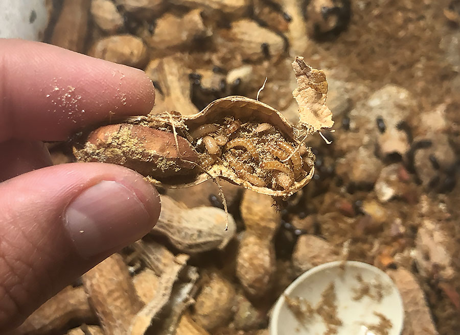A single peanut shell can hold an incredible number of larvae.