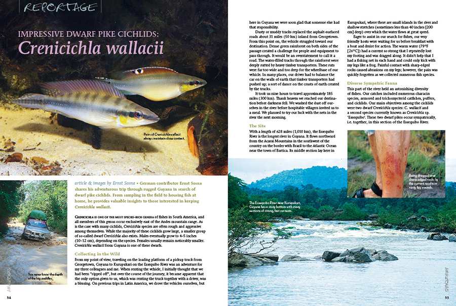 German contributor Ernst Sosna shares his adventurous trip through rugged Guyana in search of dwarf pike cichlids. From sampling in the field to housing fish at home, he provides valuable insights to those interested in keeping Crenicichla wallacii.