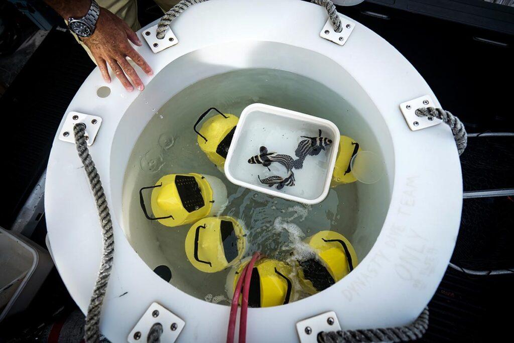 A diver unloads Spotted Drum (Equetus punctatus) for acclimation into holding tanks. Photo Credit: S. Yancar/Præch Productions