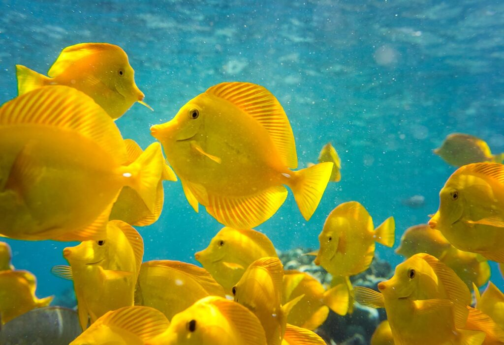 Yellow Tangs, Zebrasoma flavescens, are the iconic marine aquarium fish only available through Hawaiian fishery harvest (and recently captive-bred offerings), and one of the spotlight species in the battle over the future of Hawaii's aquarium fishery. Image Credit: Shutterstock