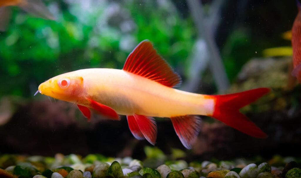 The albino form of the rainbow shark is a popular aquarium fish. Image credit: FoxPix1/Shutterstock