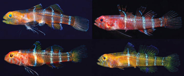 Another Eviota Goby Species is Scientifically Described