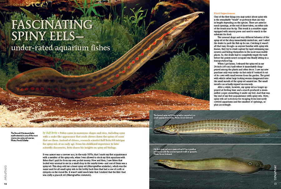 Author Ralf Britz starts our feature topic discussing the fascinating spiny eels—under-rated aquarium fishes. Frank Schäfer's images of the fire eel (Mastacembelus erythrotaenia), the barred spiny eel (Macrognathus pancalus), and the peacock eel (Macrognathus siamensis) hint at what's on the pages to come!