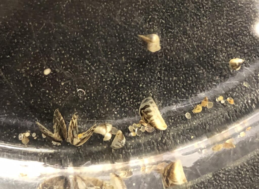 Photo from the USGS record of the February 9th, 2021 discovery of zebra mussels in marimo balls in a Seattle pet store. Note that at least some of the individuals are clearly gaping and likely expired. Others appear to be intact, and could be viable. USGS credit: M. Brown.