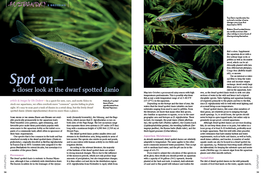 """In a quest for new, rare, and exotic fishes to stock our aquariums, we often overlook more """"common"""" species hiding in plain sight. It's easy to scan past a tank of danios in a retail shop, but author Ute Dederer suggests that the lively dwarf spotted danio (Danio nigrofasciatus) deserves more than a glance."""