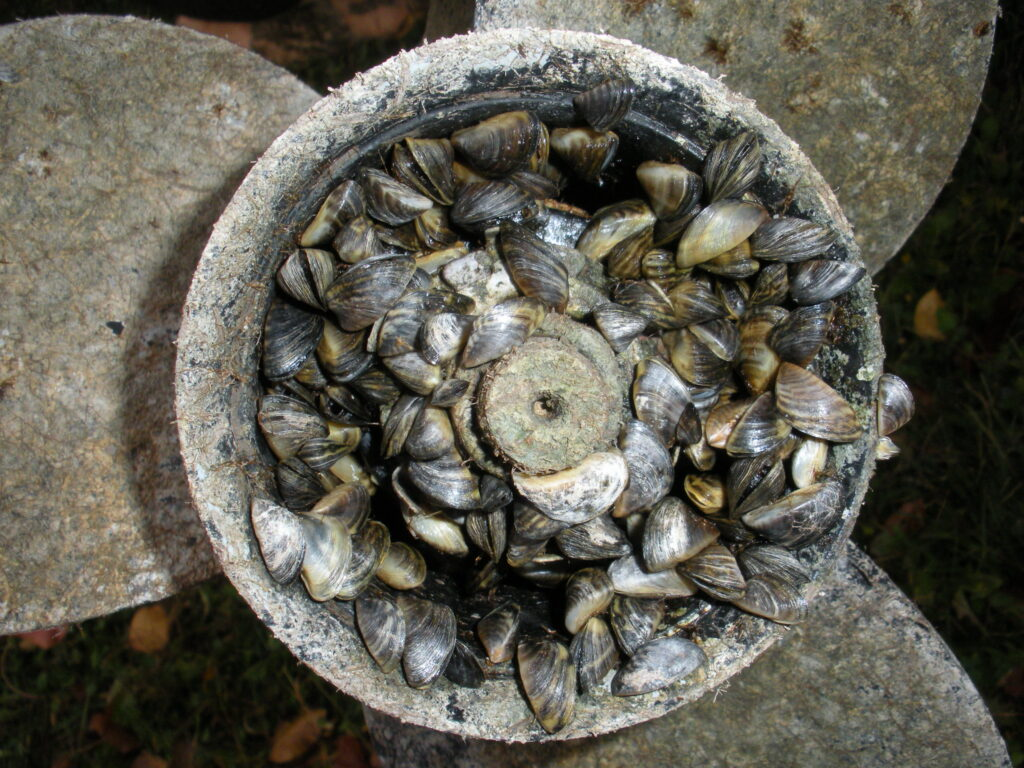 Zebra mussels encrusting on a boat propeller. Image credit: Tom Britt, CC BY 2.0