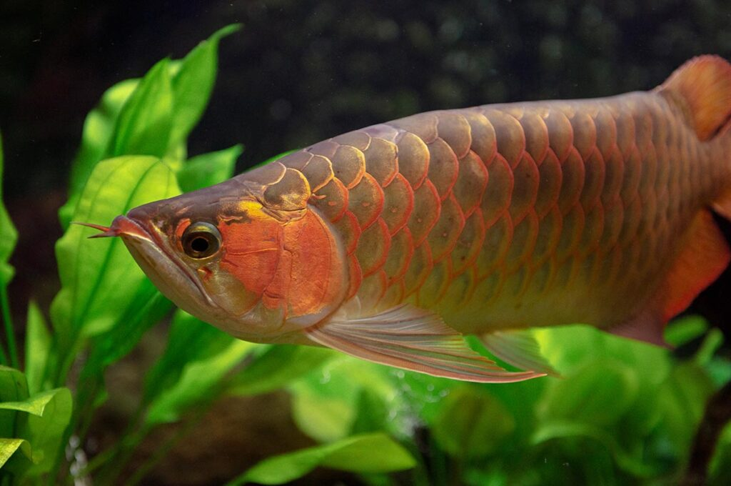 Red Arowana or Asian arowana (Scleropages formosus) is one of the world's most expensive cultivated ornamental fishes, and is an endangered species. Image copyright Japan' Fireworks/Shutterstock.