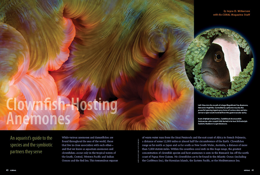We continue our update of Joyce D. Wilkerson's foundational work in Clownfish-Hosting Anemones; An aquarist's guide to the species and the symbiotic partners they serve. A must-read for every aquarist planning to house clownfish and their host anemones!