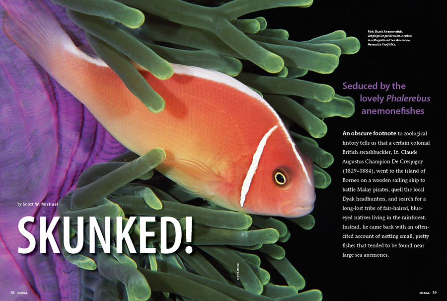 """SKUNKED! Scott W. Michael is seduced by the lovely Phalerebrus anemonefishes, collectively known as the Skunk clownfishes in the aquarium hobby. Meet the species and find the perfect clownfish antidote to your """"designer"""" clownfish fever!"""
