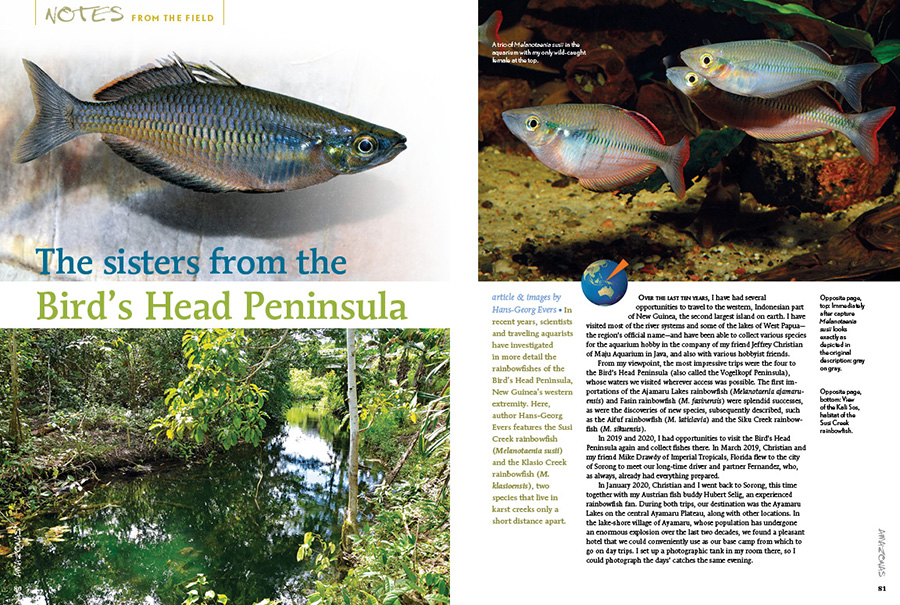 In recent years, scientists and traveling aquarists have investigated in more detail the rainbowfishes of the Bird's Head Peninsula, New Guinea's western extremity. Here, author Hans-Georg Evers features the Susi Creek rainbowfish (Melanotaenia susii) and the Klasio Creek rainbowfish (M. klasioensis), two species that live in karst creeks only a short distance apart.