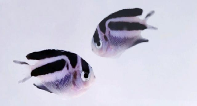 This pair of juvenile captive-bred Bellus Angelfish are available now to Proaquatix retailers.